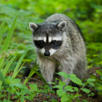 How To Get Rid Of Raccoons From Your Backyard