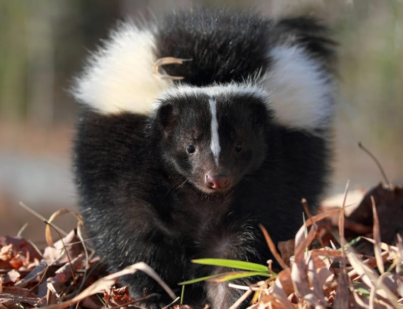 Skunk Control Around Your Home