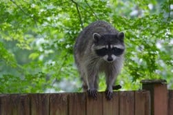 Raccoon WildLife Removal Oakville