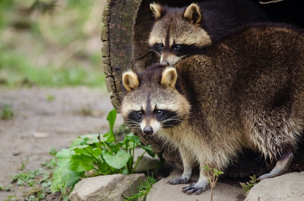 Can raccoons cause damage in your house?