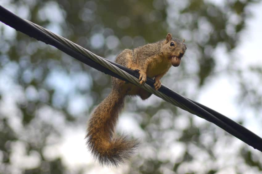Squirrel Removal Oakville