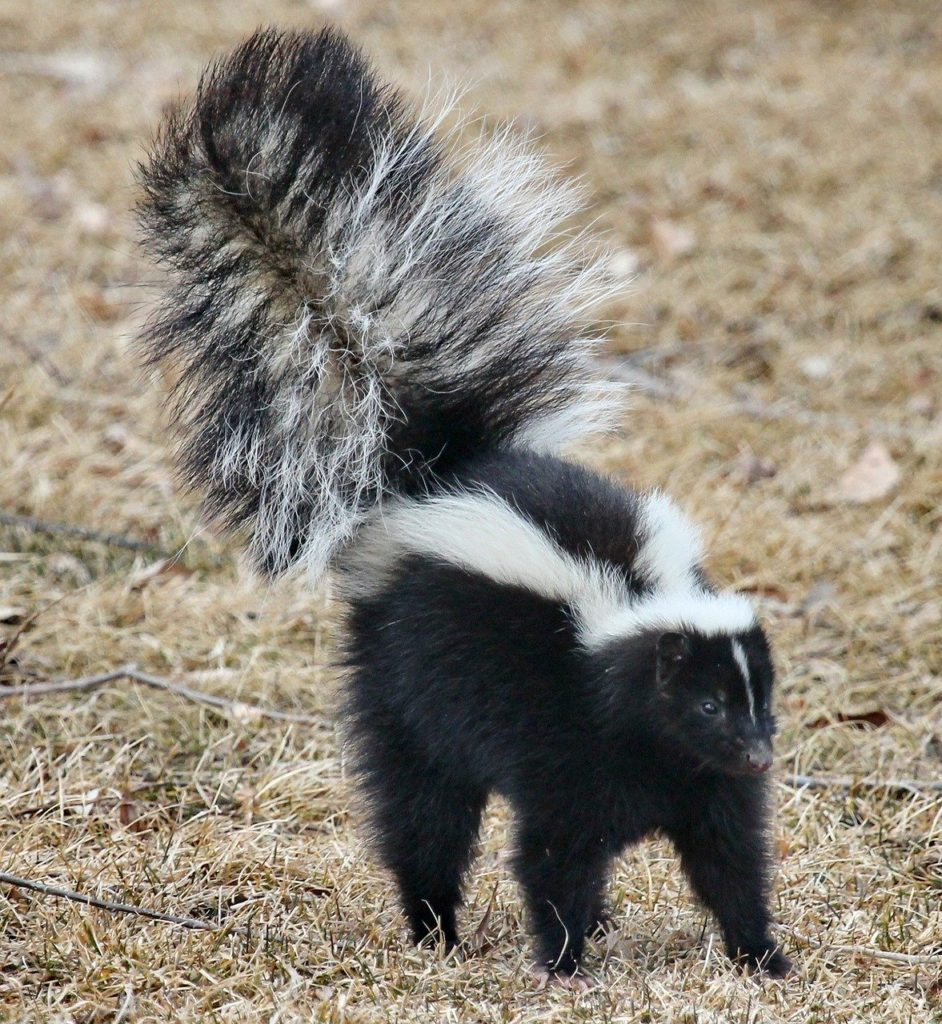 How to get rid of a wild skunk?