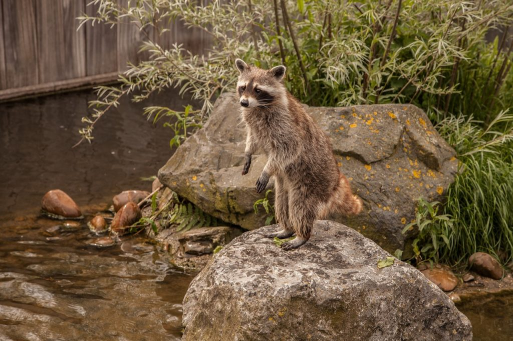How to get rid of raccoons living near my home?