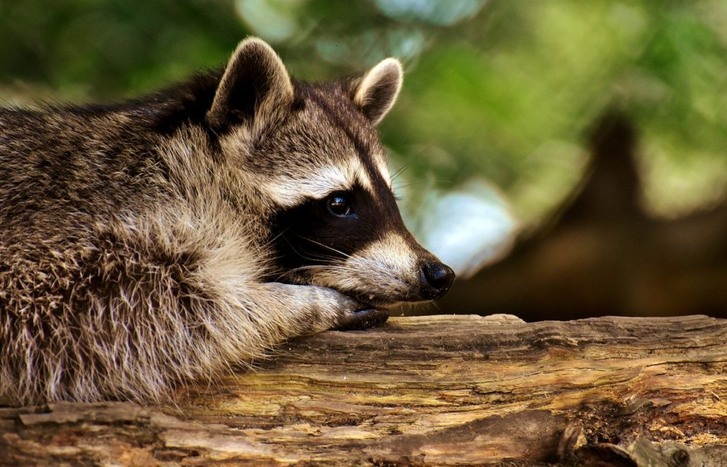 How to keep raccoons out of my yard?