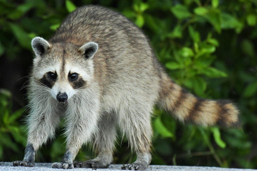 How would you pick a raccoon removal company?