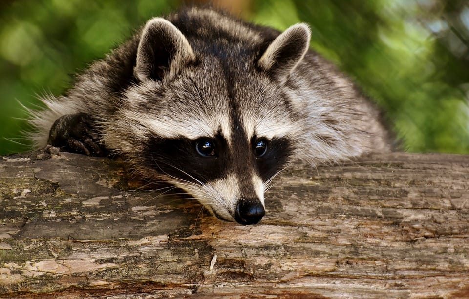 Raccoon-Removal-Oakville