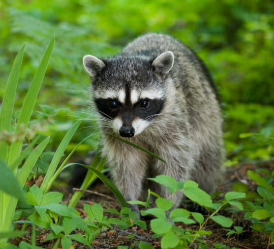 How To Get Rid Of Raccoons From Your Backyard   Wildliferemovaloakville.ca