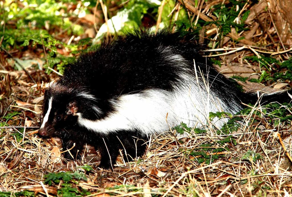 How to trap a skunk under a shed?