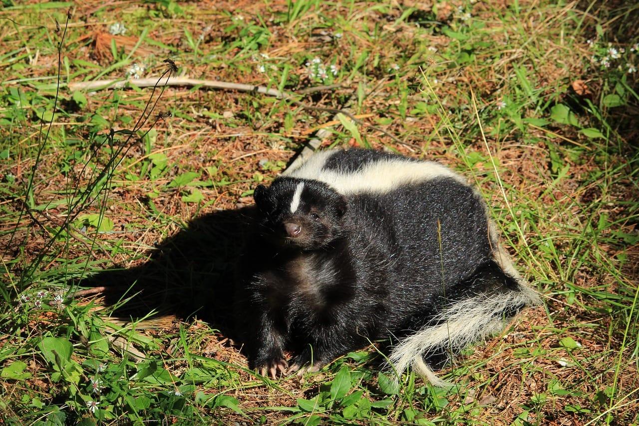 skunk-removal-oakville